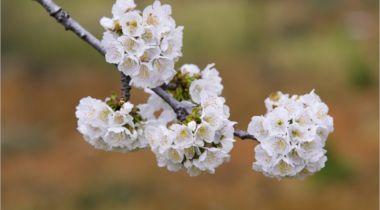 El valle del Jerte en primavera